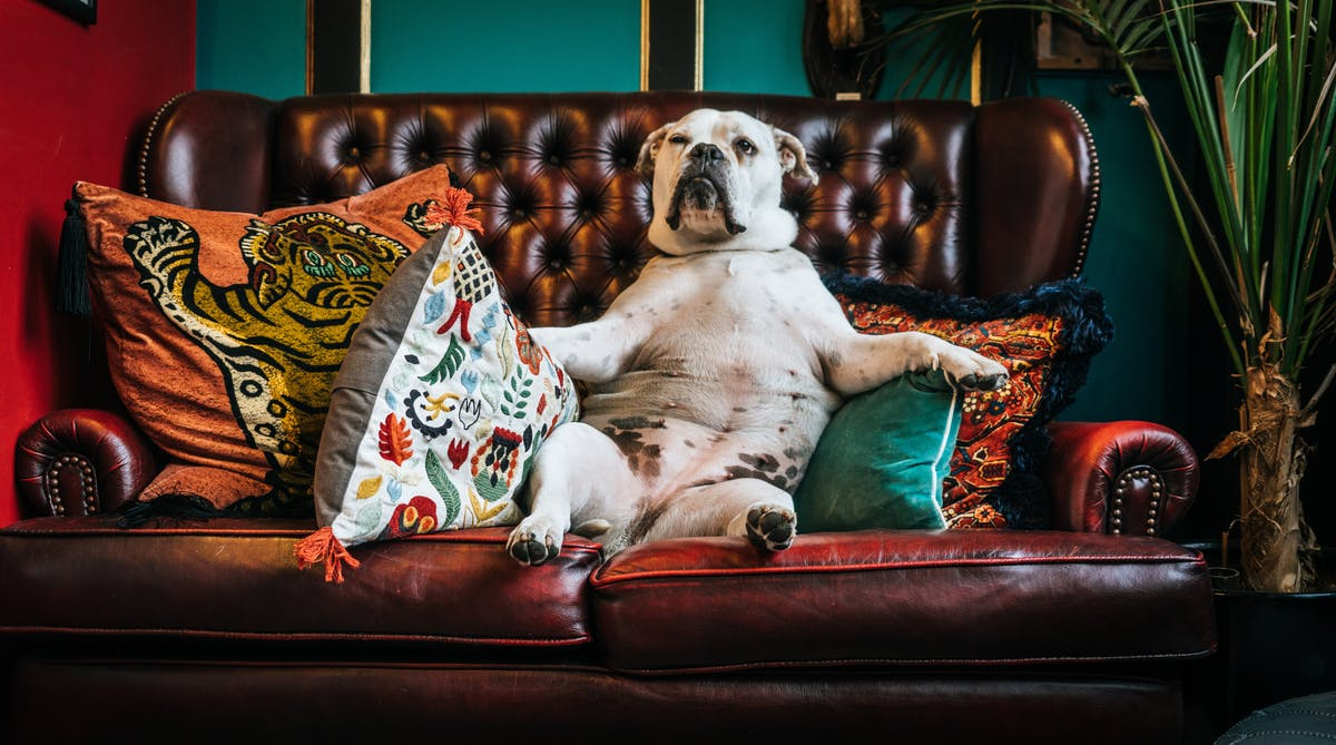 A bulldog sits on a couch like a man -Photo by Paolo Nicolello on Unsplash