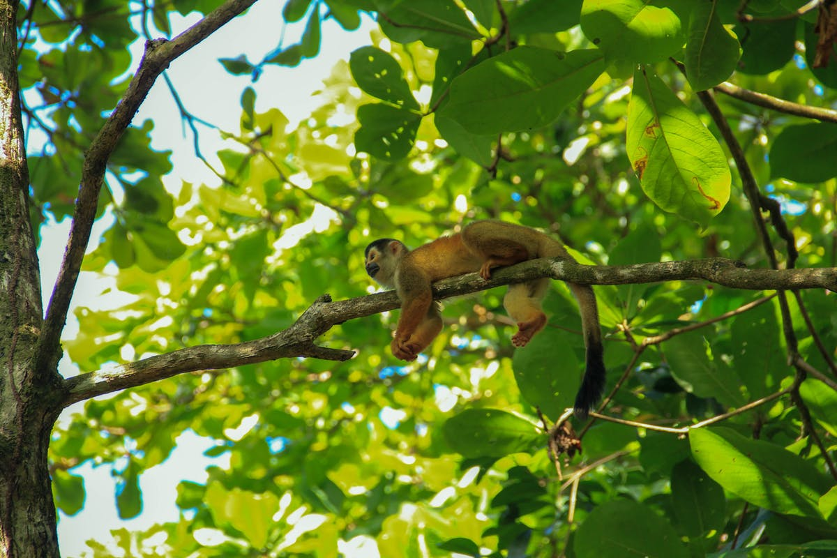 Red monkey on a branch