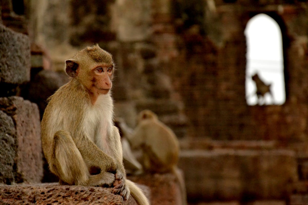 Lopburi macaques - Image by Matthew Hulland from Pixabay