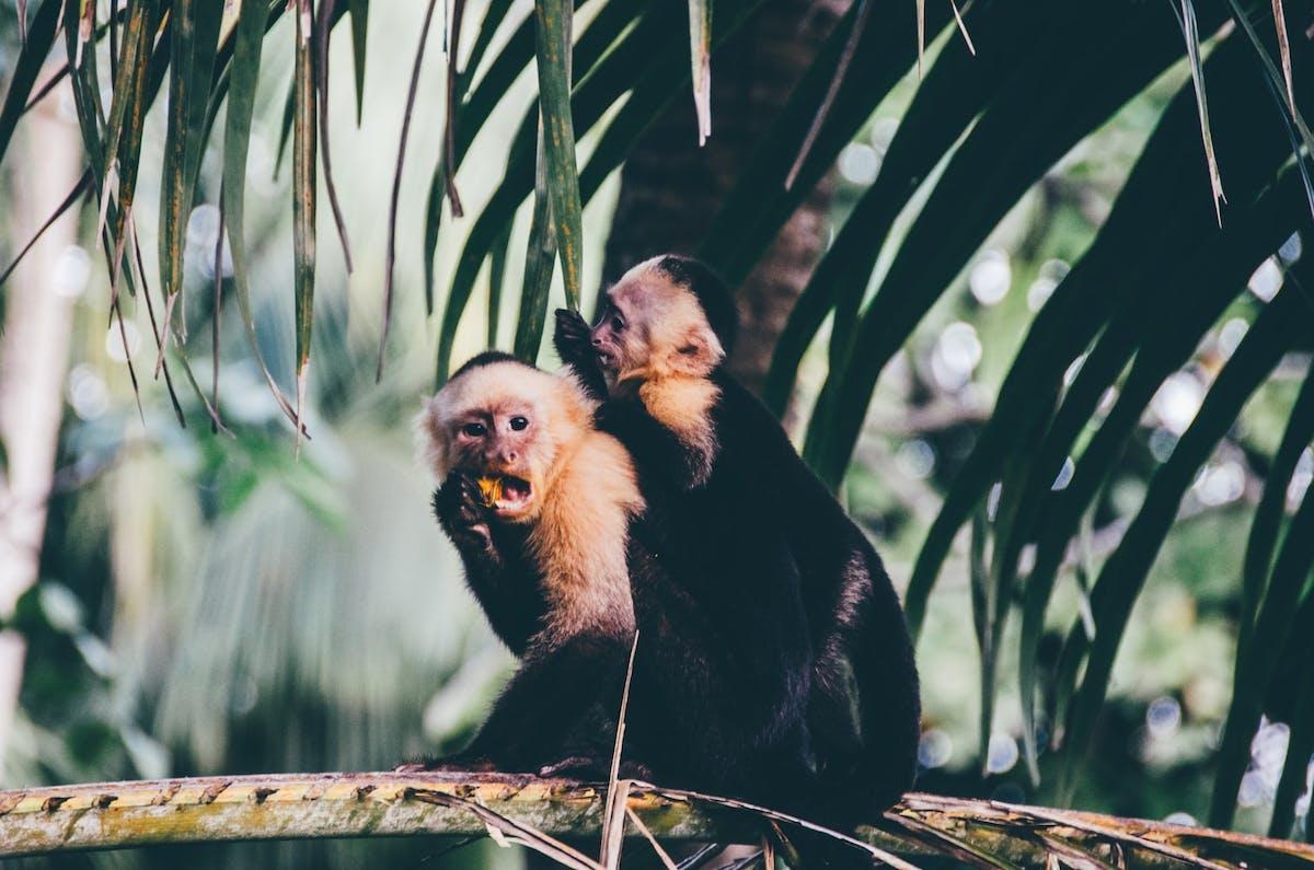 Monkeys in a forest in Costa Rica