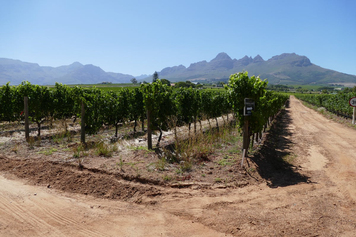 Chardonnay grapevine, in the background the mountain near Stellenbosh - Image by Alexandra Hellemeier of Pixabay
