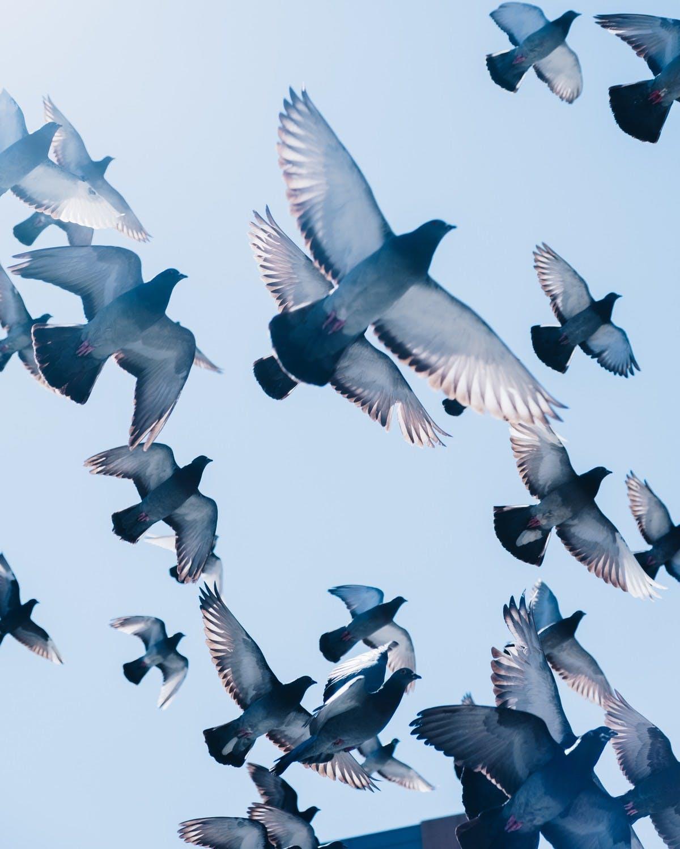 Une nuée de pigeons voyageurs s'envolent au dessus de nos têtes. Photo byZac OngonUnsplash