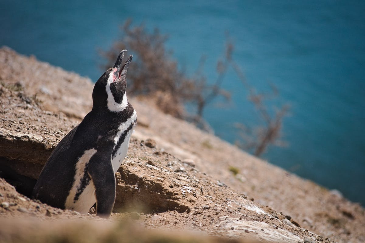 A penguin coming out of his nest in front of the water...