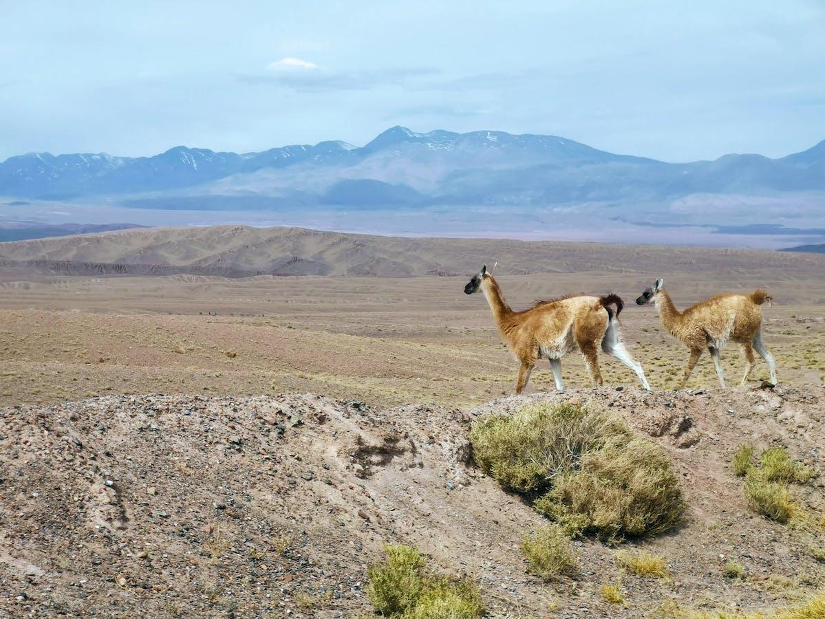 2 lamas se promènent dans le parc national Lauca