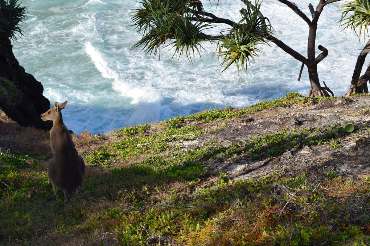 The steep beach of Kangaroo Island with a Kangaroo.